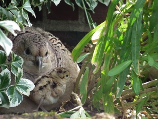 やっと孵った雉の雛達。温かそうな母親のお腹の下から出て新しい世界を探検!