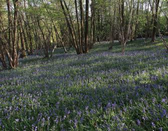 春の美しさを五感すべてを使って感じることができた「ブルーベル見学」